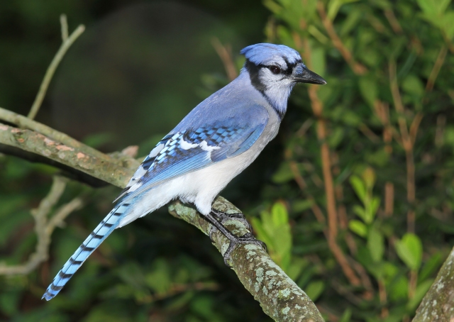 Blue Jay ... Green Cay Wetlands