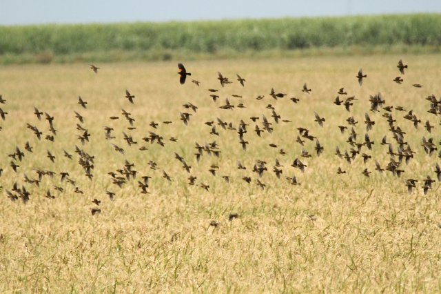 Bobolinks and a Red-winged Blackbird