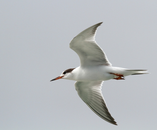 Common Tern ... The lens really proved itself at the beach!