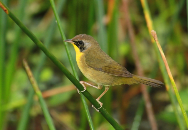 Common Yellowthroat ... Wakodahatchee Wetlands