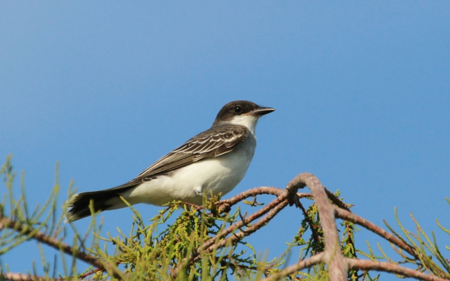 Eastern Kingbird ... Loxahatchee NWR
