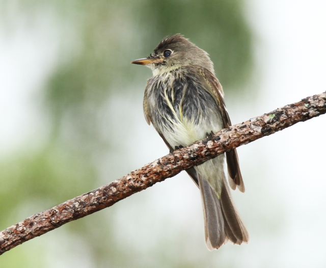 Eatern Wood Pewee ... When I say I got that RIGHT after it stopped raining I wasn't kiddin!