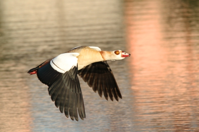 Egyptian Goose ... These guys are now ABA countable and it's nice having a couple of families right in the back yard.