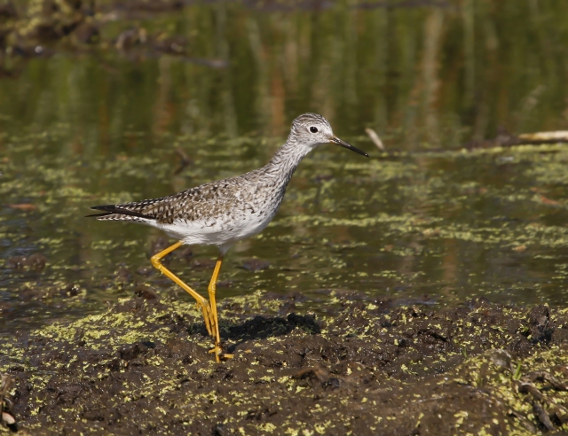 Lesser Yellowlegs ... Wakodahatchee Wetlands