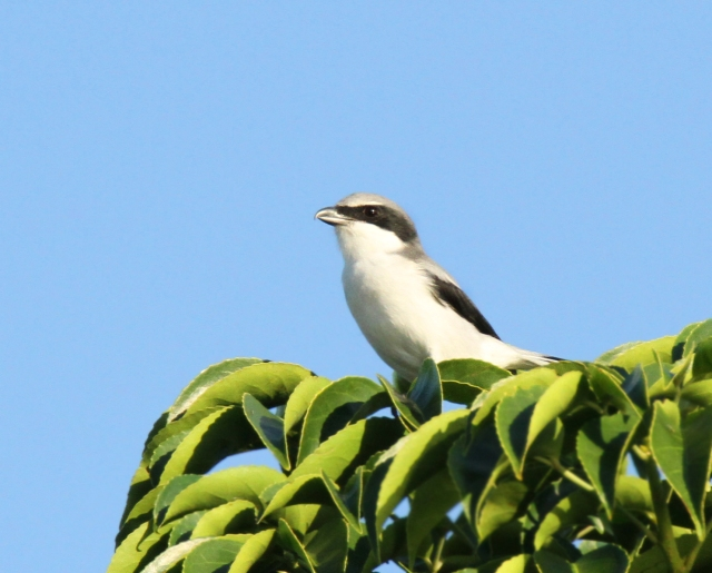 Loggerhead Shrike ... Just cause he such a cool little bird!!