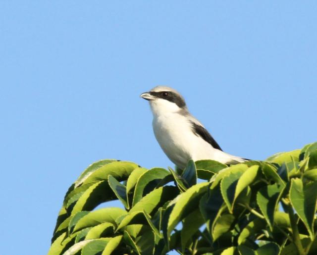 Loggerhead Shrike ... Just cause he such a cool little bird!!