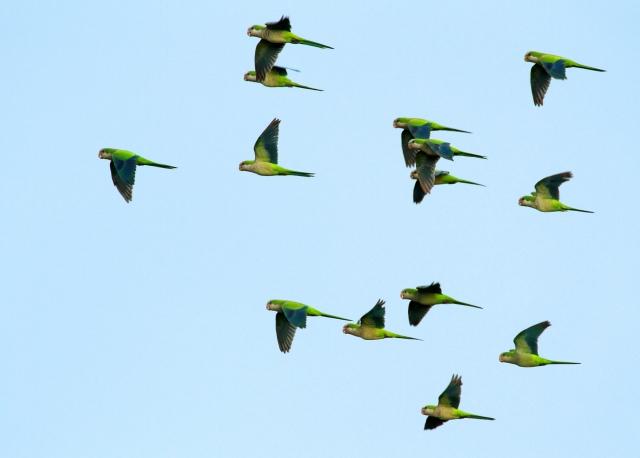 Monk Parakeets ... Taken at Green Cay Wetlands