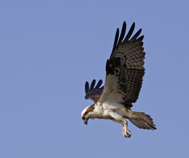 Osprey ... Wakodahatchee Wetlands