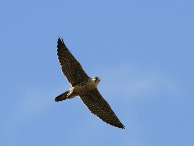 Peregrine Falcon ... My new lens has not recieved rave reviews for it's in flight capabilities but if I can get more like this I'll never complain!