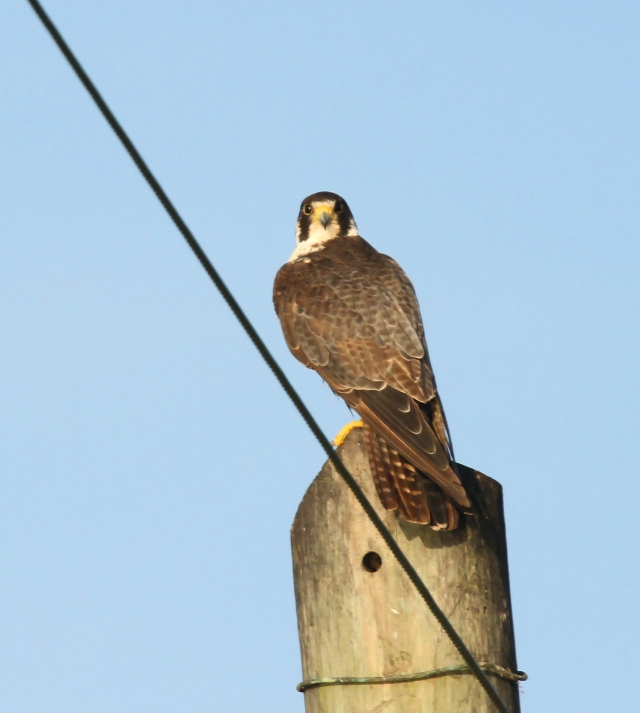 Peregrine Falcon ... I told you he was very obliging!