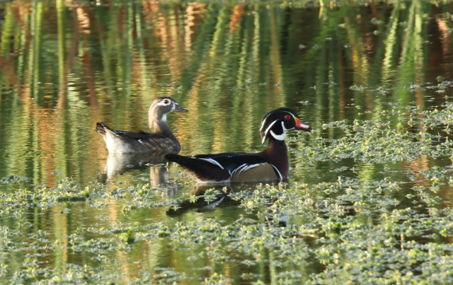 Wood Duck ... Not a species I had expected to see!