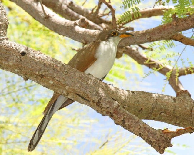 Yellow-billed Cuckoo ... Right across the street from the Snook Island parking area.