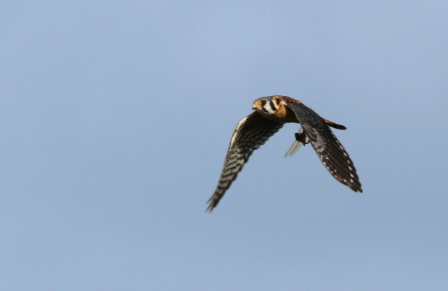 American Kestrel with breakfast.