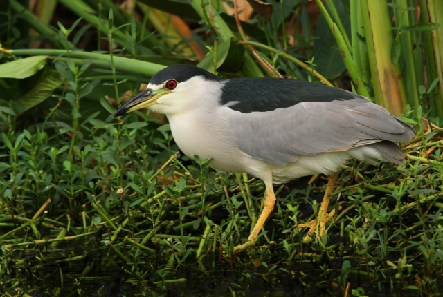 Black-crowned Night Heron ... This guy and the Snipe were the only pictures I took today!!