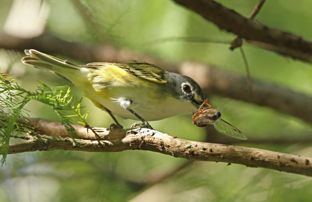 Blue-headed Vireo with his breakfast!
