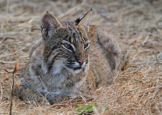 Bobcat Momma