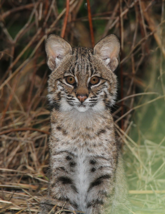Bobcat Kitten ... Can you say AWWWWWWWWWW!!