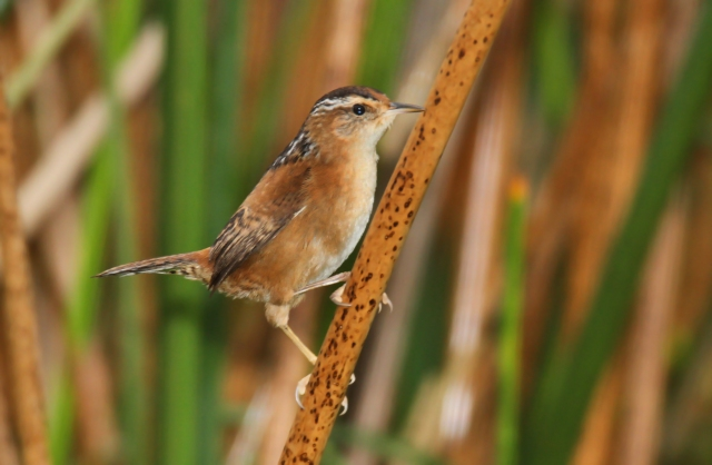 Marsh Wren ... FOS (first of the season)