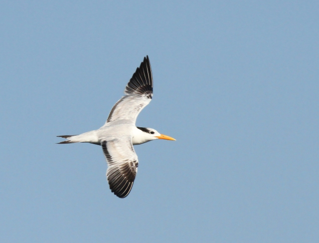 Royal Tern ... One of the more unusal birds we saw.