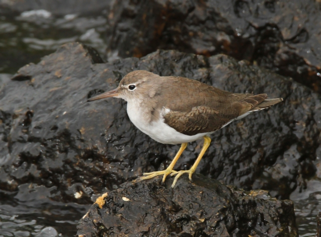 Spotted sandpiper ... Snook island is probably the most reliable spot I know of for this species,