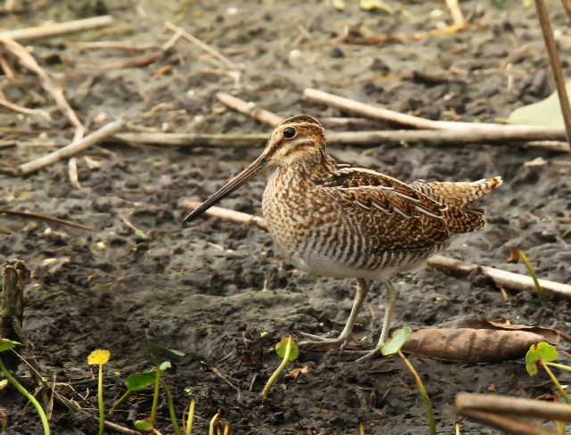 Wilson's Snipe ... This is the first of these I've had the opportunity to photograph in a very long time ... thank you Brian P. for the good spot!