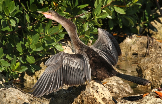 Anhinga ... Actually both the GBH and this guy were both taken at Snook Island.