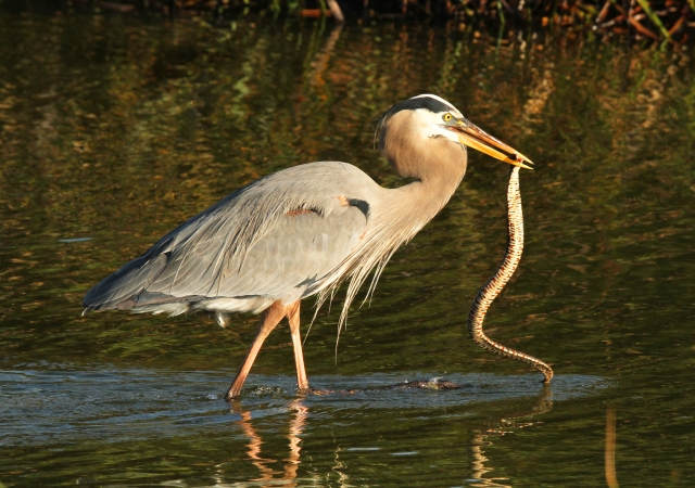Great Blue Heron with a Banded Water Snake ... or breakfast as the case may be!
