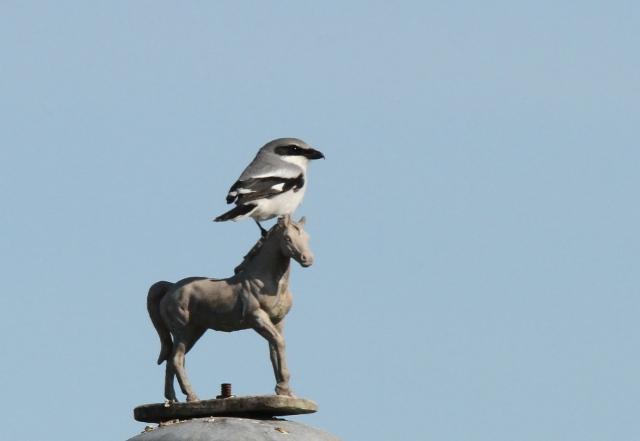 Loggerhead Shrike ... Now that is a minature horse!