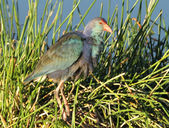 Purple Swamphen ... This is one of this years babies.  It is just completed the molt into its adult plumage.