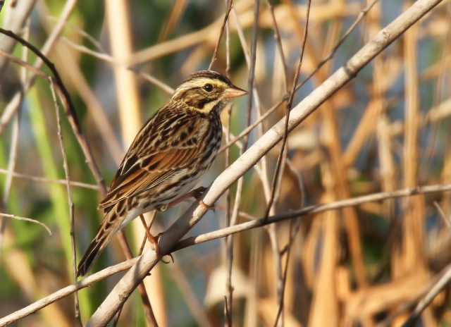Savannah Sparrow ... I was very happy to get this guy this morning.  Sparrows are notoriously difficult to photograph and he actually stood still for more than one of two frames!