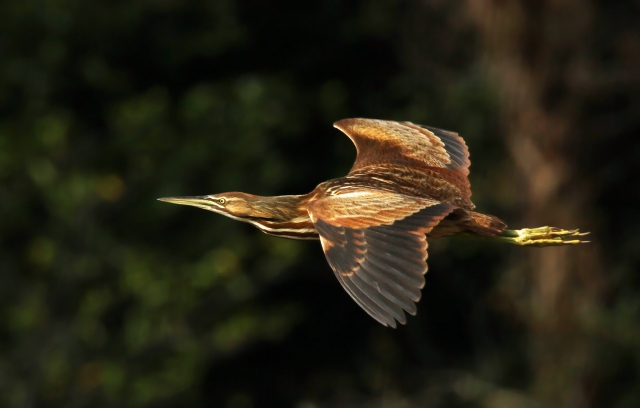 American Bittern ... One of my nemesis birds for good in-flight shots.  I liked this one that was taken with really nice morning light! 1/3/15  Green Cay Wetlands