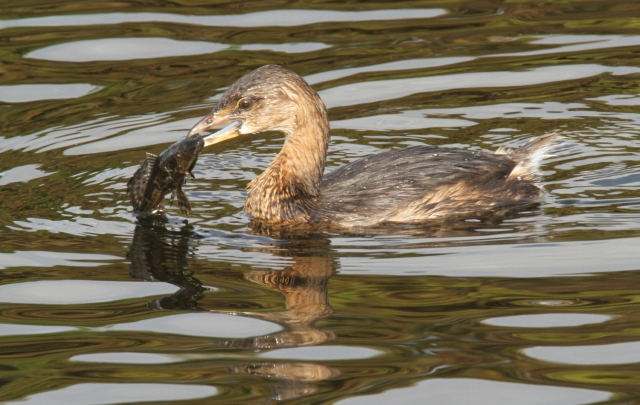 Pied-billed Grebe ... That is one nasty looking fish but he did manage to get it down.  1/2/15 Wakodahatchee Wetlands.