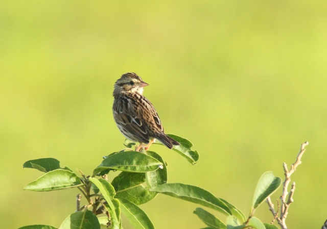 Savannah Sparrow  ... Such a wonderful background for this little guy!