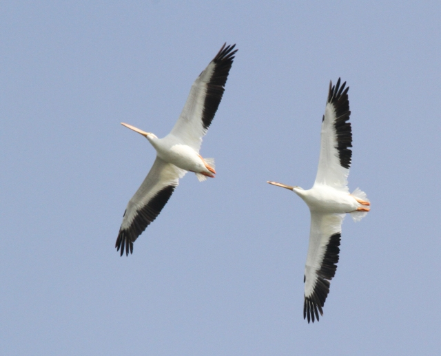 White Pelicans ... Always cool to see these giants!