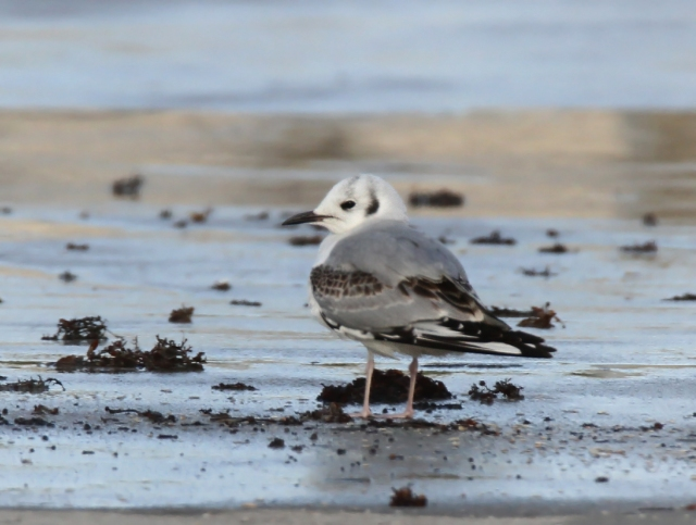 Bonaparte's Gull ... One of the more unuasual Gulls we sometimes get at the Inlet.