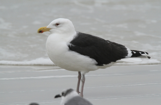 Great Black-backed Gull ... With his distinctive black back.