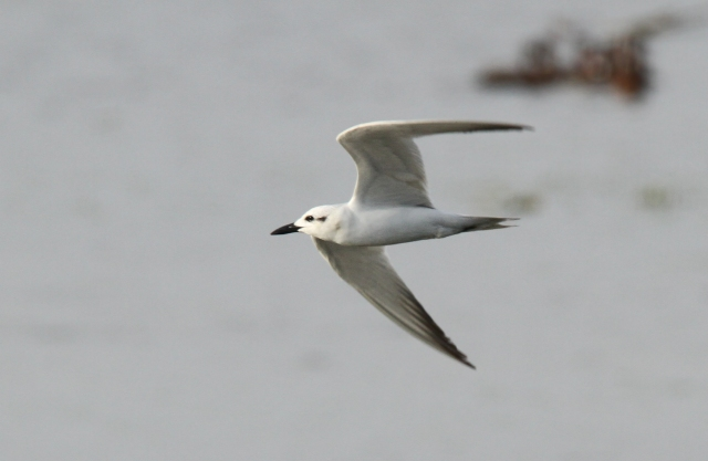 Gull-billed Tern ... STA 1 East on the 12th of January