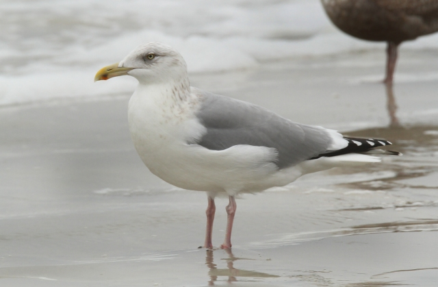 Herring Gull with his Gray back.