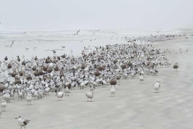 Beginning of the Gull roost.  It kept getting bigger and bigger as the day went on.