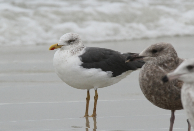 Lesser Black-backed Gull ... This was a new year bird!
