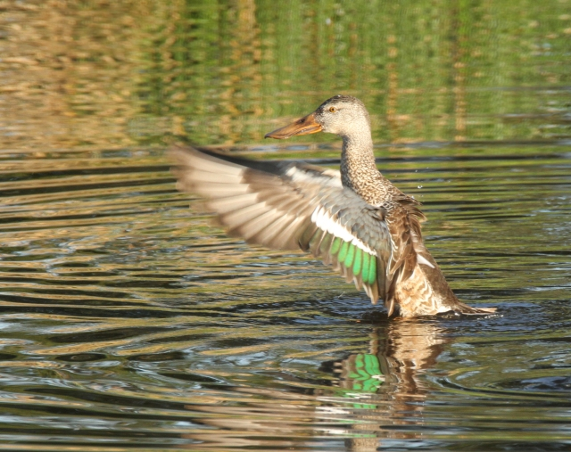 Northern Shoveler ... She flew in while I was waiting for the Yellow-headed Blackbird and took a bath ... Wakodahatchee Wetlands 1-10-15