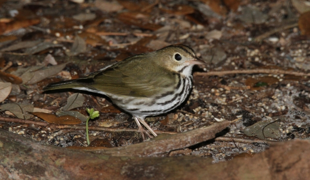 Ovenbird ... This guy has been at or near the feeders at the entrance every Winter for at least the last 3 ... maybe even longer!