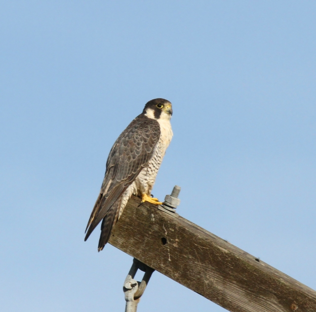 Peregrine Falcon ... I saw more of these guys in January than I've seen in the last 3-4 years combined...   Taken 1-6-15 at Wellington Wetlands