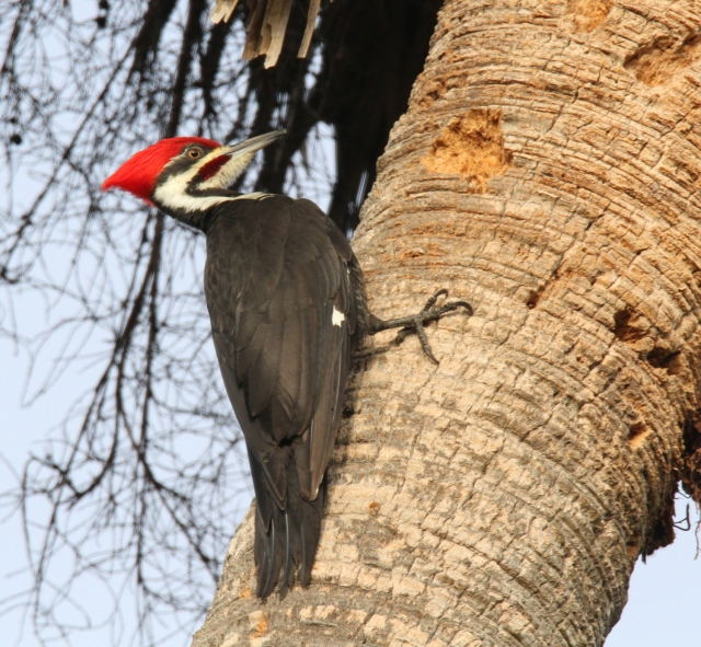 Pileated Woodpecker ... I see these guys at Loxahatchee NWR but find they are much easier to photograph at Riverbend.