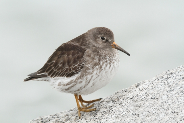 Purple Sandpiper ... This was the one species I was hoping to find at Light House Point and to get him to pose so close and nice was definitely a bonus.