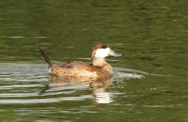 Ruddy Duck ... He has been hanging out for a couple of months now.